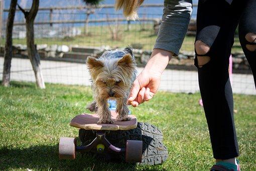 Dog, Small, Dog Training, Yorkie, Yorkshire Terrier