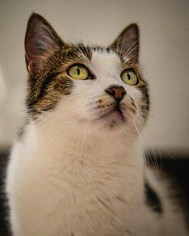 Cat, Amazed, Hungry, Domestic Cat, Animal, Pet, Kitten