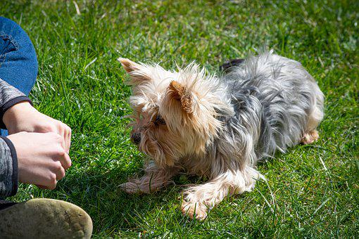 Dog, Small, Learn, Education, Obedient, Attention
