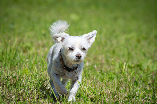 Dog, White, Meadow, Summer, Small, Small Dog, Hybrid