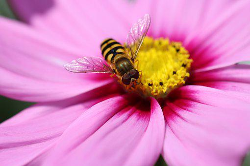 Hover Fly, Insect, Beetle, Nature, Blossom, Bloom