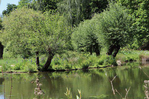 Meadowlands, Pollarded Willows