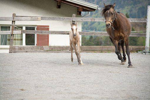 Horse, Pony, Mare, Foal, Newborn, Young Animal