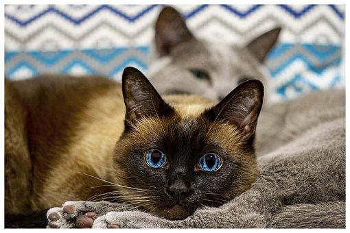 Siamese Cat, Cat Thai, Blue Eyes, Animal, Nice, Home