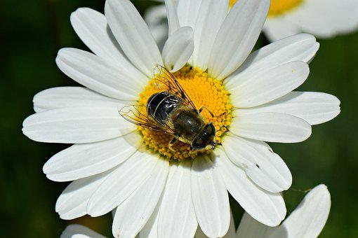 Oxeye Daisy, Flower, Plant