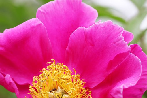 Peonies, Peony Flowers, Flowers, The, Garden, Nature