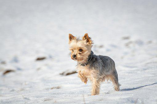Dog, Small, Winter, Snow, Yorkie, Yorkshire Terrier