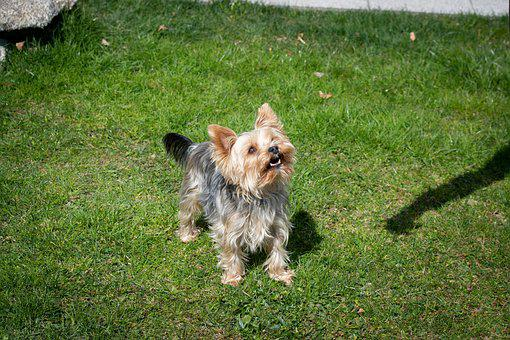 Dog, Yorkie, Small, Yorkshire Terrier, Cute, Sweet