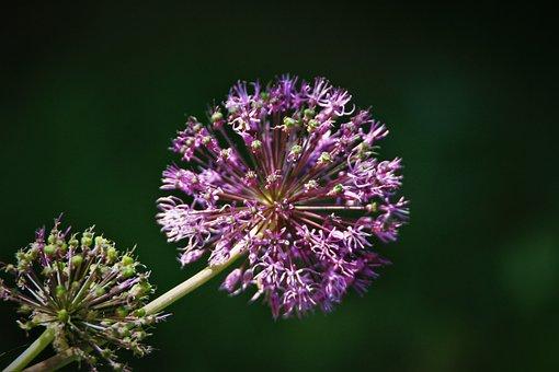 Ornamental Onion, Leek, Allium, Purple, Plant, Nature