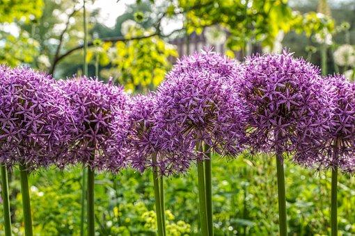 Ornamental Onion, Flower Ball, Schnittblume, Allium