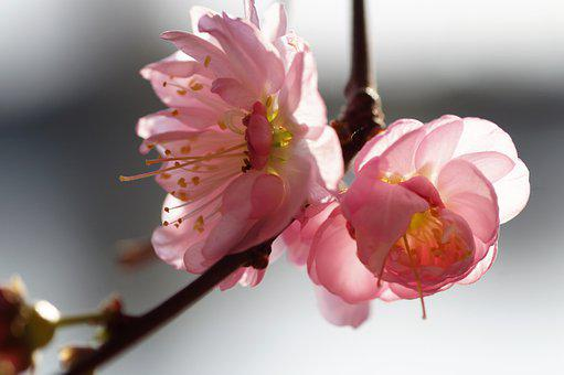 Almond, That Has Double Flowers