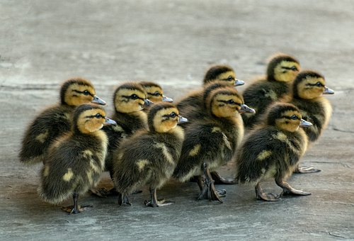 Duckling, Animal, Young, Yellow, Ducks, Cute, Fluffy
