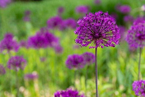 Allium, Ornamental Onion, Purple, Blossom, Bloom, Plant