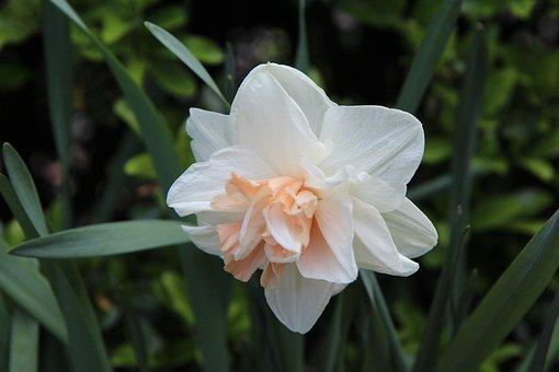 Narcissus, Daffodils, Bi-color, Perfume, Flowering