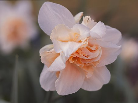 Narcissus, Double-Flowered Daffodil