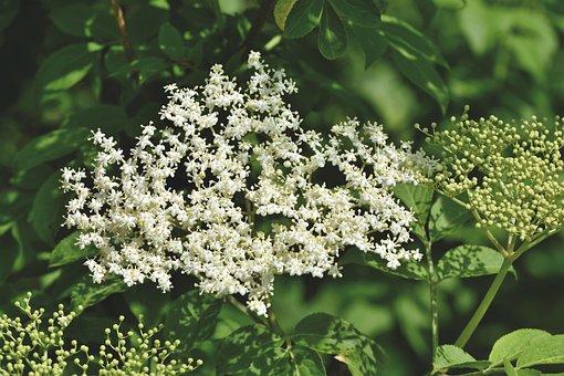 Elder, Elderflower, Holder Bush, Black Elderberry