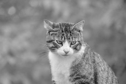 Cat, Feline, Black And White Photo, Animal Portrait