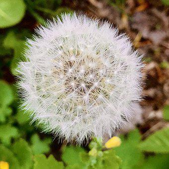 Dandelion, Blow, Flower, Garden, Green