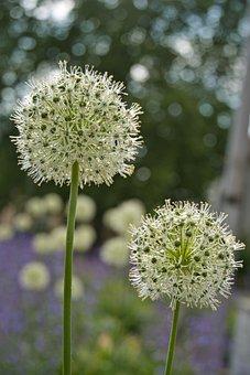 Ornamental Onion, Flowers, Bokeh, Spring, Plant, Bloom