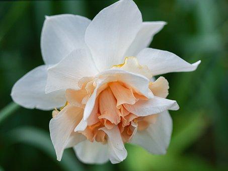 Narcissus, Spring Flower, Flowers