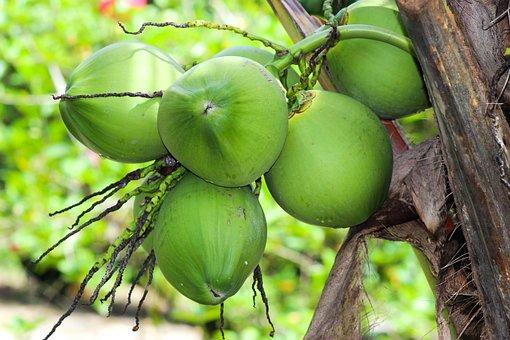 Coconut Tree, Green, Exotic, Coconut, Monstera