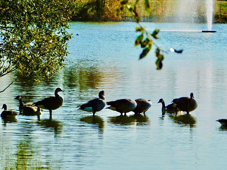 Birds, Water, Nature, Animal, Lake, Feather, Goose