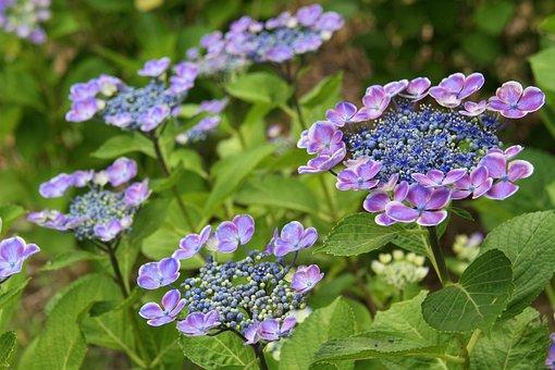 Hydrangea, Flower, Japan, Macrophylla, Normalis