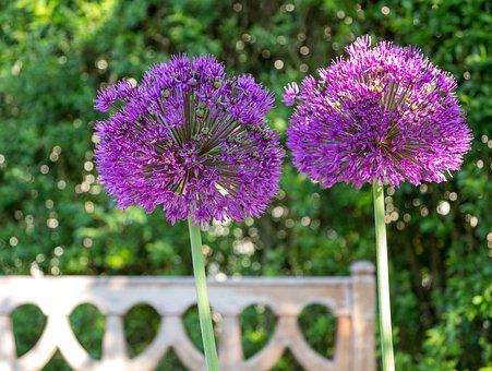 Ornamental Onion, Garden, Purple, Spring, Blossom