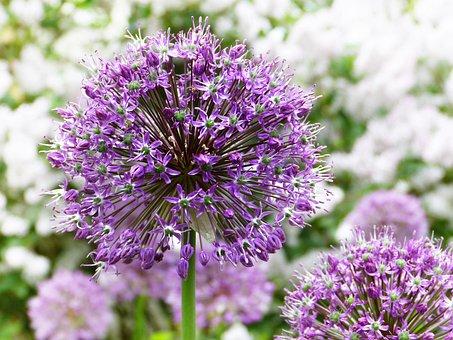 Ornamental Onion, Purple, Plant, Blossom, Bloom, Allium
