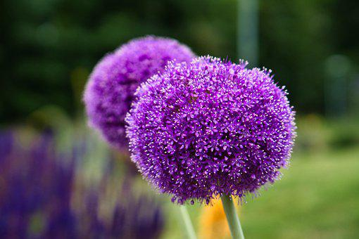 Ornamental Onion, Flowers, Plant, Nature, Purple