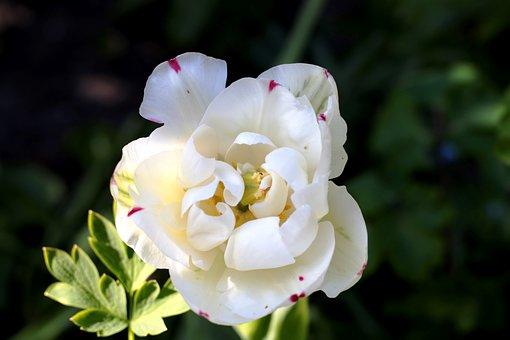Tulipa Danceline, Tulip, Holland, Plant, Spring, White