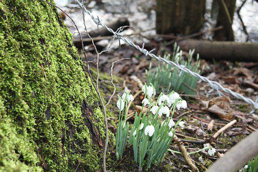 Snowdrop, Tree, Bark, Barbed Wire, Nature, Moss, Spring