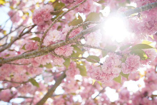 Spring, Cherry Blossoms, Double Cherry Blossoms, Sun
