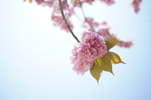 Sun, Cherry Blossoms, Double Cherry Blossoms, Spring