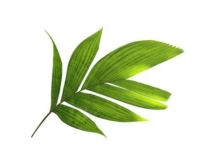 Palm, Leaf, Green, Botany, Exotic, Coconut, Tropical