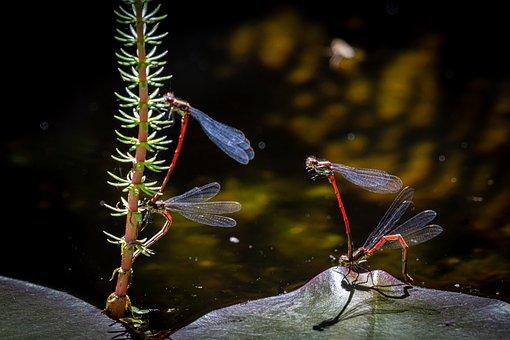 Pyrrhosama Nymphula, Dragonfly, Adonis Dragonfly