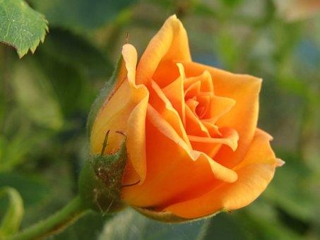 Rose, Orange, Blumenstock, Rosenstock, Garden, Blossom