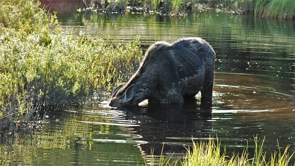 Snot Full, Moose, Hiding, Down Under, Under Water