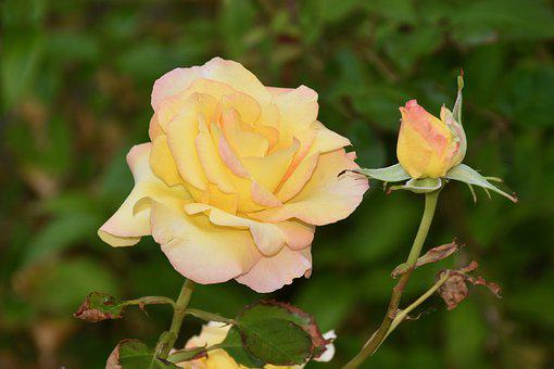 Flower, Pink, Rose Bud, Pink Yellow Color, Nature