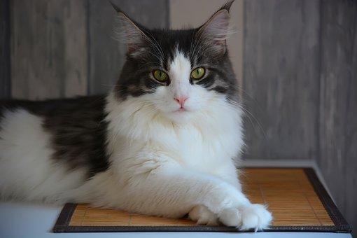 Anneli, Maine Coon, Cat, View, Portrait, Wool, Fur