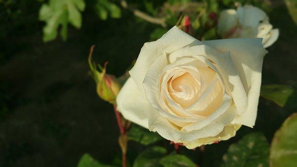 Rose, Garden, Flower, Nature, Green, Floral, Petals