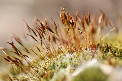 Moss, Wall Rotary Toothed Moss, Tortula Muralis