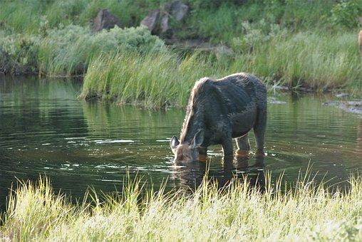 Moose, Deep Dive, Way Under, Wet, Underwater, Yum