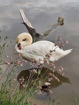 Swan, Cygnus, Mute Swan, Ducks, Waterfowl, Atmospheric