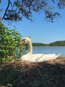 Swan, Bird, Water, Nature, Animal, Sea, Wild, Summer