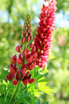 Lupins, Red, Lupinus Polyphyllus, Blossom, Bloom