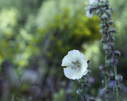 Hollyhock, Common, Alcea, Rosea, Malvaceae, Bloom