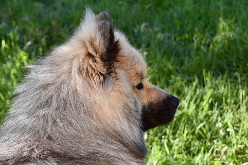 Dog, Dog Portrait, Dog Eurasier, Male, Black Muzzle