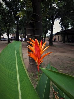 Flower, Heliconia, Tropical, Nature, Bloom, Plant