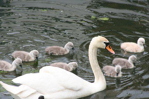 Mute Swan, Swan, Chicks, Swan Chicks, More